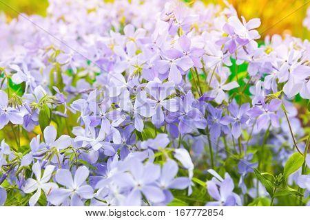 Summer Flowers Background. Phlox