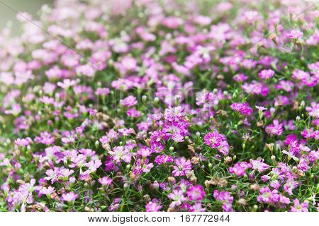 Field Of Pink Dianthus Flowers