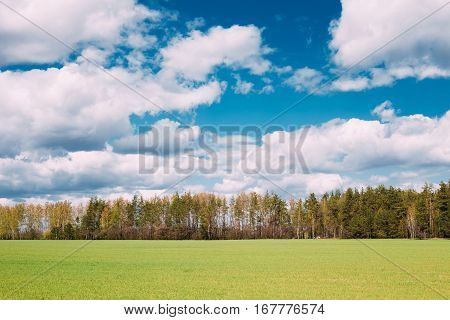 Countryside Rural Field Or Meadow Landscape With Green Grass On Foreground And Forest On Background Under Scenic Spring Blue Dramatic Sky With White Fluffy Clouds. Skyline. Agricultural Landscape