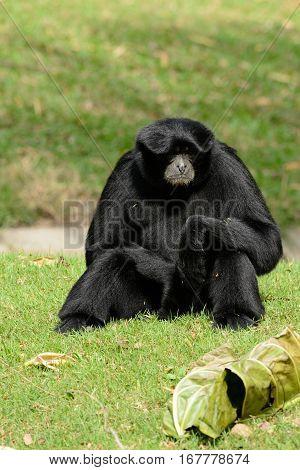 beautiful Siamang (Symphalangus syndactylus) sitting on ground