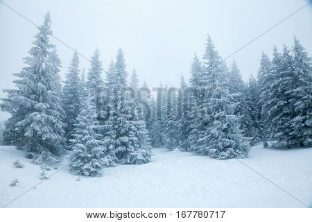 Fir trees covered with snow on a mountain slope winter landscape