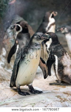 Close-up of an Humbold penguin or Spheniscus humboldti with rocks in the background