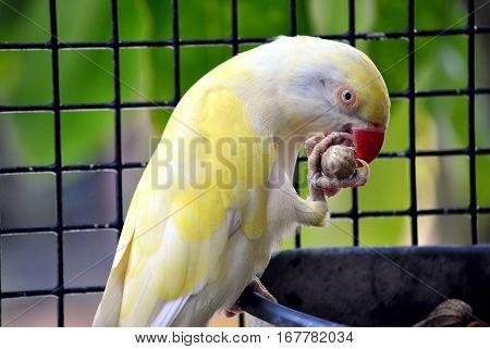 Indian ringneck parakeet Latin name Psittacula krameri