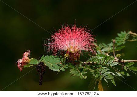 beautiful Raintree flower (Samanea saman (Jacg.) Merr. ) at Thai flower garden