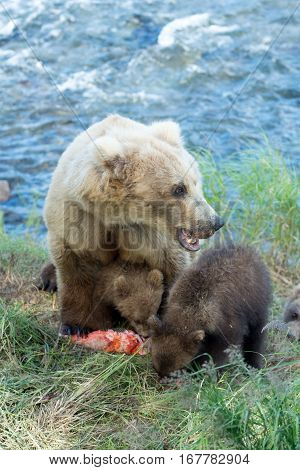 Alaskan Brown Bear Sow And Cubs