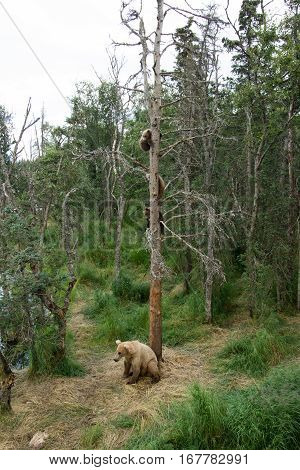 Alaskan Brown Bear Sow With Cubs In Tree