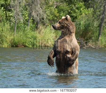 Large Alaskan Brown Bear Sow In Water