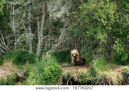 Brown Bear Sow And Cubs