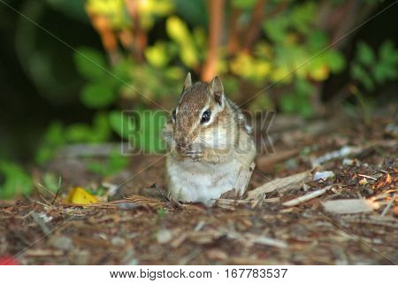 Cute chipmunk sitting up on his hind legs on the forest floor