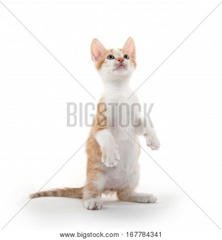 Cute Yellow Tabby Kitten On White