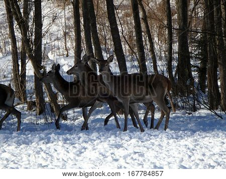 deer in winter,  Deer in the snow