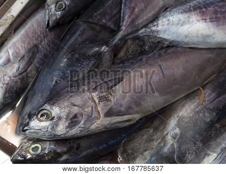 Fresh mackerel fishes on shop display. Pile of sea fishes for sell. Seaside fisherman catch. Raw fish meat. Grey silver mackerels ready for cook. Fresh healthy seafood image for cooking recipe book