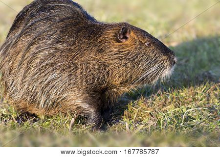 Close up photo of a nutria also called coypu against green background