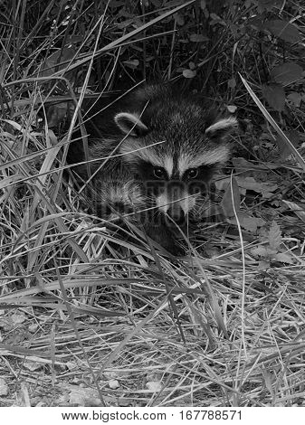 black and white close up of a young raccoon in the grass