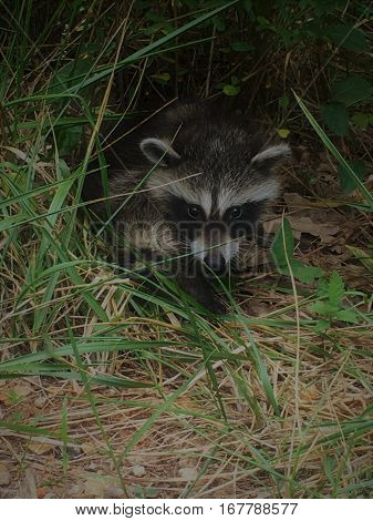 Close up of a young raccoon in the grass