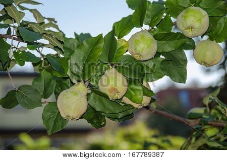 Quince (Cydonia oblonga) foliage and ripening fruit