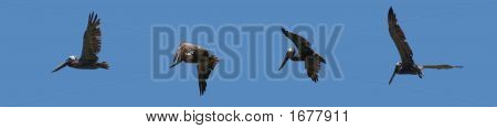 four pelicans flying in line at san blas panama poster