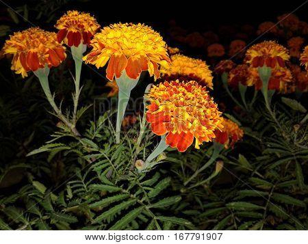 Flor de muertos usado para la festividad día de muertos en México