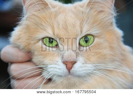 home calm red- haired cat smart beautiful sitting on hands and looking close up