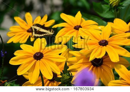 Sunflower And Giant Swallow Tail Butterfly