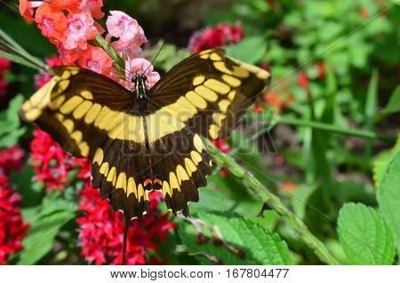 Swallow Tail Butterfly
