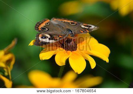 Buckeye Butterfly On The Sunflower