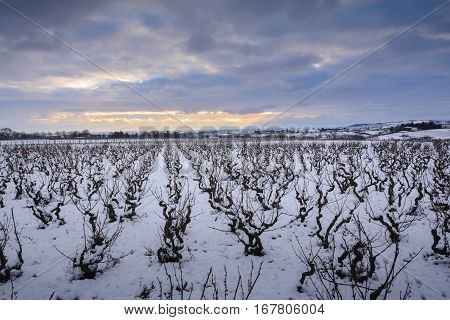 Snowed Landscape Of Vineyards In Beaujolais Land, France