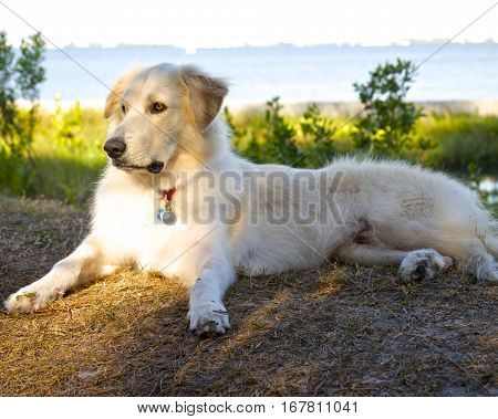 White dog in Repose, Man's Best Friend