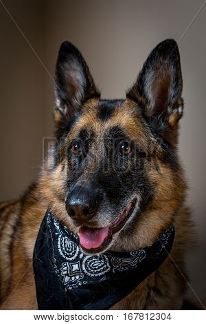 Happy portrait of German Shepherd dog wearing bandana
