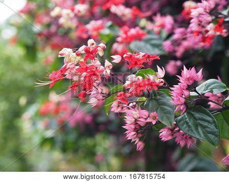 Small red and pink creeper flowers on green background. Bleeding Heart Vine's pink flowers(Clerodendrum thomsoniae 'Delectum')