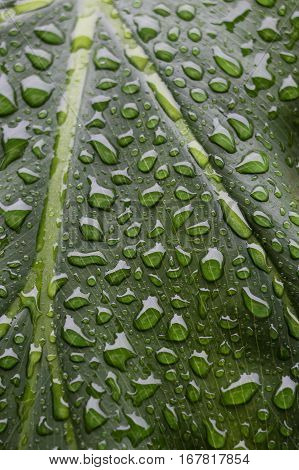 Green veined leaf with many rain drops, close up