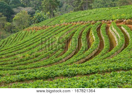 Strawberry garden at Doi Ang Khang , Chiang Mai, Thailand