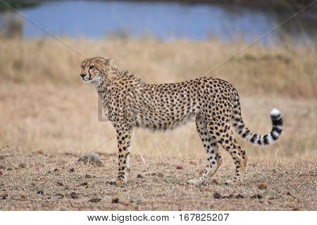 Adult cheetah at watering point Masai Mara National Reserve Kenya East Africa