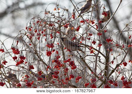Bird waxwing a winter migrant sits in a tree full of berries
