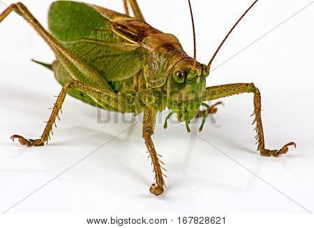 The big green sitting grasshopperon on white