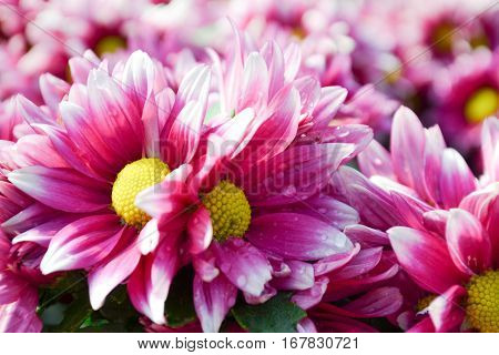 These are pink  and white flowers and has yellow pollen called Chrysanthemum or Florist's Mun or mums flowers. And a sacred flower of China.