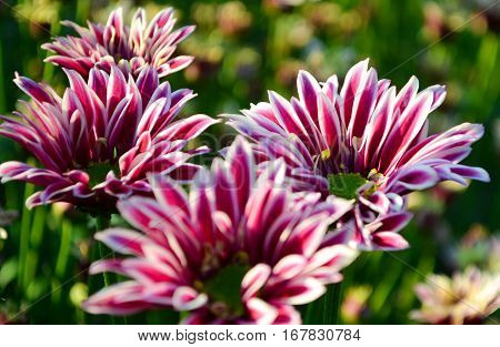 These are pink or purple and white flowers and has green pollen called Chrysanthemum or Florist's Mun or mums flowers. And a sacred flower of China.