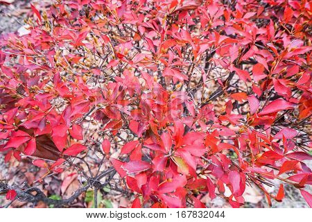 close up tree leaves turn to red in autumn