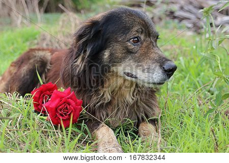 Cutie and lovely dog is looking its owner with a beautiful of artificial red roses