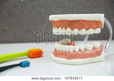 Upper and lower jaw dental model with toothbrushes. Proper cleaning dental hygiene education and prevention concept and background.