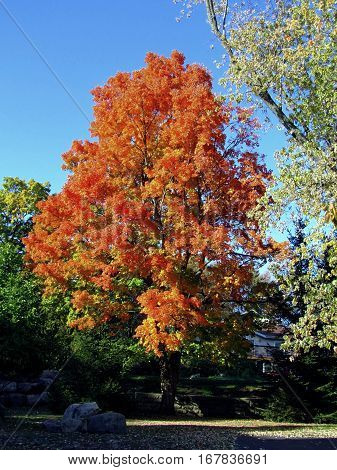 Fall Foliage vivid orange leaves on a tree in Lake Geneva, Wisconsin