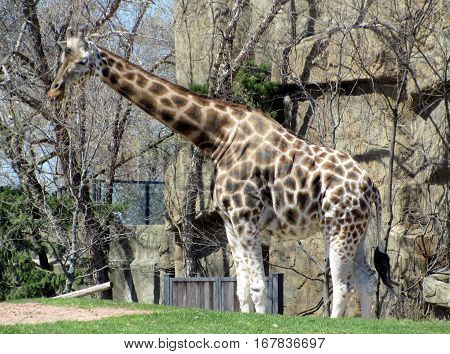 Giraffe walking around outside under a clear blue sky
