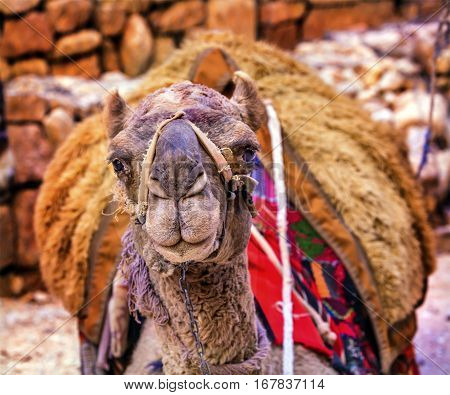 Camel Close Up Looking Treasury Siq Petra Jordan Petra Jordan. Camelus dromedarius one humped camel used in Middle East. Camels are used to give rides and carry things.