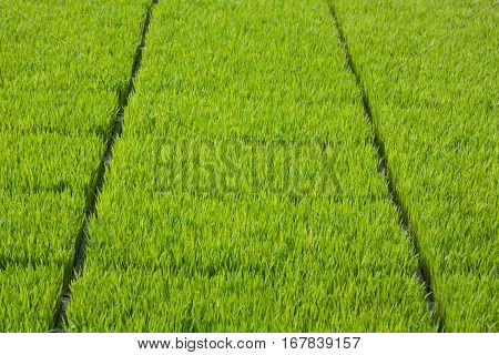 The cultivation of rice seedlings in plastic trays.