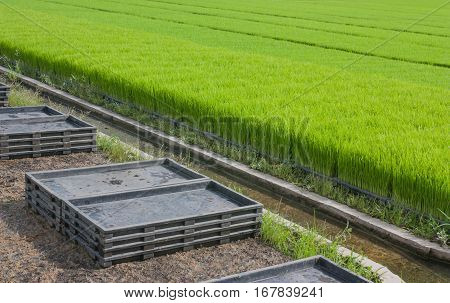 Stack trays of seedlings and plantation of crops, The cultivation of rice seedlings in plastic trays.