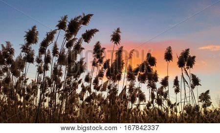 Common Reed (phragmites Australis) With A Beautiful Sky View