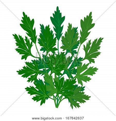 Parsley icon on white background. Vector fresh leaves of parsley. Cilantro Herb. Popular aromatic seasoning in Mexican, Latin, Chinese, Asian cooking. Seed is called Coriander. See other herbs and spices in this series.