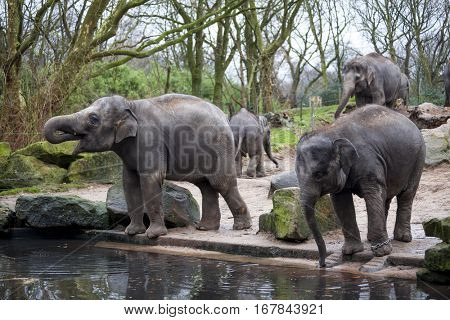 Elephant family goes to the watering hole in the forest of India