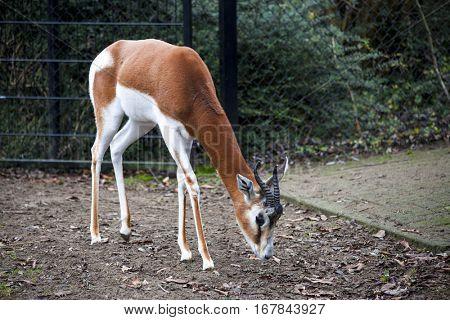 Young female gazelles eating grass in the zoo aviary. Springbok Antidorcas marsupialis.