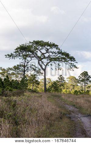 Pinus Merkusii A Large On Phu Kradueng National Park  Loei,thailand.